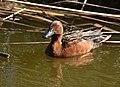 Cinnamon teal on Seedskadee National Wildlife Refuge (34942272020).jpg