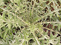 Cirsium vulgare, Speerdistel bladrozet closeup.jpg