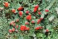 Cladonia didyma (Fée) Vainio 80437.jpg
