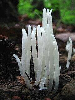 <i>Clavaria fragilis</i> species of fungus