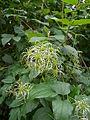 Clematis vitalba Früchte Hunzigenau.jpg