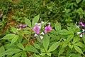 Cleome pentaphylla 9727.jpg