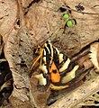 Clicking Forester Aegocera bimacula by Dr. Raju Kasambe DSCN6647 01.jpg