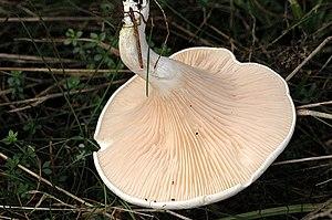 Decurrent - The mushroom Clitopilus prunulus has strongly decurrent gills.