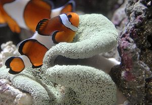 Clown fish taking safety in a Sea Anenome.