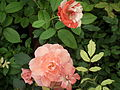 Cluster flowered rose from Lalbagh flower show Aug 2013 8483.JPG