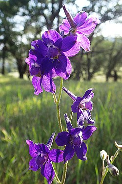 Coastal Larkspur- (Delphinium decorum)- a toxic - non-edible plant with an amazing flower endemic to CA. It is found in the Bay Area and places north. This was taken along Coulter Pine trail in the fo (14000174461).jpg