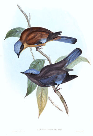 Purple cochoa - An artist's illustration of both male and female.