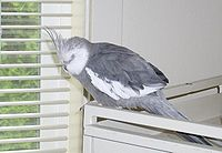 Cockatiel Sleeping.jpg