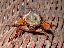Adult june bug