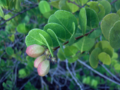 Coco-Plum (2927347375).png