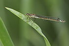 Coenagrion lunulatum female hein germany brandenburg.JPG