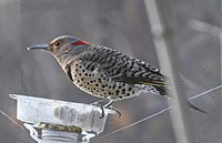 Colaptes auratus f Lambton Woods Toronto feeder.jpg