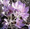 Colchicum byzantinum Flowers BotGardBln0906b.jpg