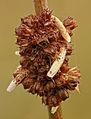 Coleophora alticolella, North Wales, Sept 2014 (19444102906).jpg