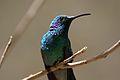 Colibri thalassinus Monteverde 01.jpg