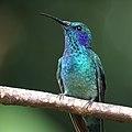 Colibri thalassinus Monteverde 02.jpg