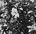 Collectie Nationaal Museum van Wereldculturen TM-20016603 Hibiscus Puerto Rico Boy Lawson (Fotograaf).jpg