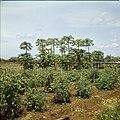 Collectie Nationaal Museum van Wereldculturen TM-20029715 Tomatenplanten op Plantage Aruba Bonaire Boy Lawson (Fotograaf).jpg