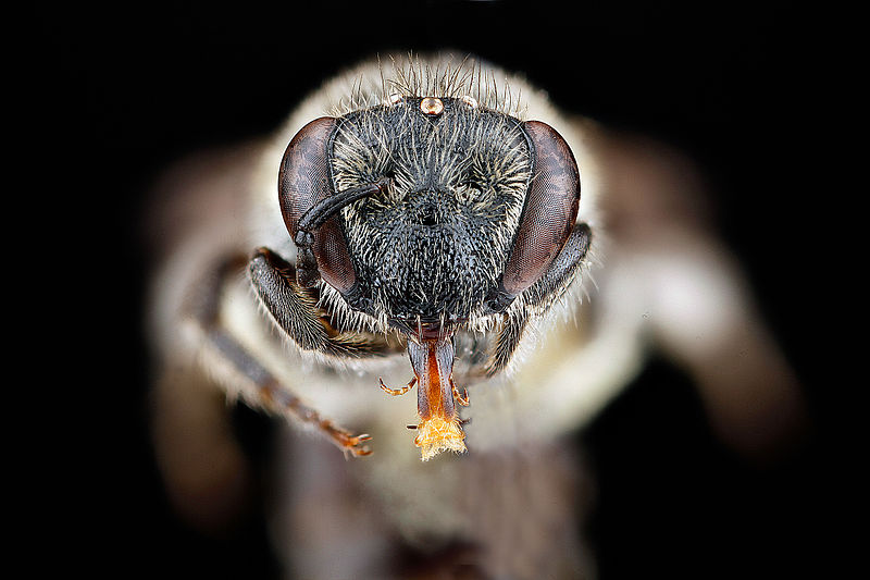 File:Colletes-thysanellae,-female,-face 2012-04-02-13.14.01-ZS-PMax (7725303126).jpg