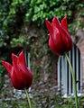 Cologne Germany Flora-Köln-Tulipa-01.jpg