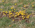 Coltsfoot patch - Flickr - S. Rae.jpg