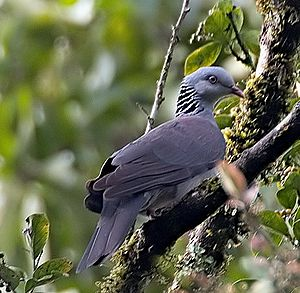 Pampadum Shola National Park - Nilgiri wood-pigeon (vulnerable)