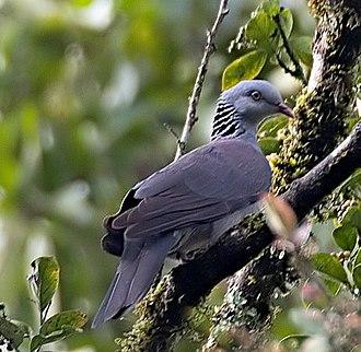 Mhadei Wildlife Sanctuary - Nilgiri wood-pigeon