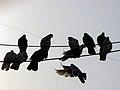Columbidae by iran کبوتران در ایران 05.jpg