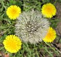Common Dandelion (Taraxacum officinale) - Flickr - Jay Sturner.jpg