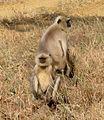 Common Langur. Presbytis entellus. - Flickr - gailhampshire.jpg