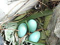Common Myna's nest and eggs in a window, Kolkata, May 22, 2012.jpg