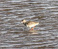 Common Redshank Oulu 20100513.JPG