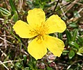 Common Rock-rose (Helianthemum nummularium) - geograph.org.uk - 846167.jpg