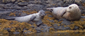 Common Seals crop 1.png