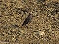 Common Starling (Sturnus vulgaris) (15892016151).jpg