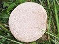 Common puffball (Lycoperdon perlatum), Faulston Down - geograph.org.uk - 1492481.jpg