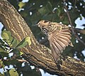 Common starling (50430737757).jpg