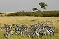 Common zebra at masai mara kenya 01.jpg