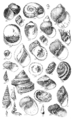 Conchological Manual Plate 15.png