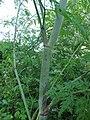 Conium maculatum stem (02).jpg