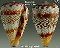 Conus cuneolus 1.jpg
