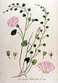 Convolvulus soldanella — Flora Batava — Volume v10.jpg