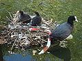 Coot Nest.jpg