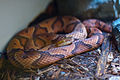 Copperhead Snak.jpg