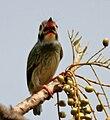 Coppersmith Barbet (Megalaima haemacephala)- Immature eyeing Lannea coromandelica fruits W IMG 7836.jpg