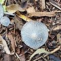 Coprinus lagopus top view.jpg