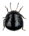 Coptosoma scutellatum 1.png