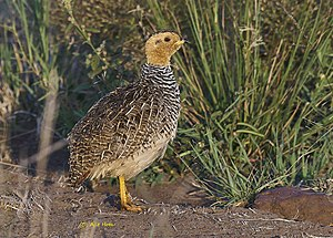 "Coqui francolin - Adult male of the ""Pale-bellied francolin"", P. c. hubbardi, in the Maasai Mara"