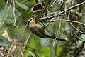 Coral-billed Scimitar-Babbler - Eaglenest - India FJ0A0431 (33475550733).jpg